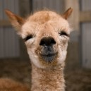 Who knew Alpacas would be so cute?